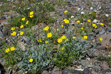 blog 10 Mojave to Daggett 58E, Mojave Poppy (Eschscholtzia glyptosperma)_DSC6793-3.19.17.(1).jpg