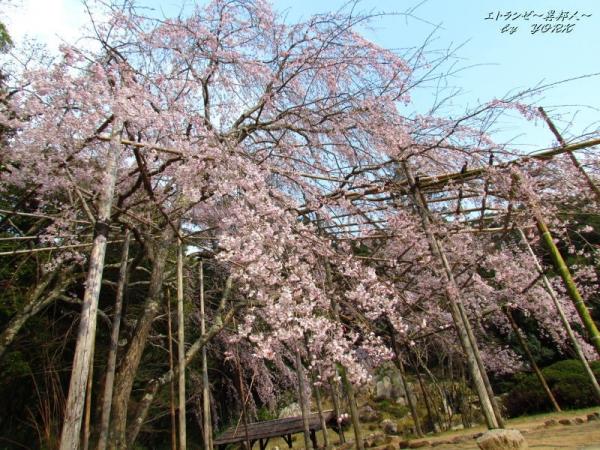 2597枝垂れ桜を見上げて170330