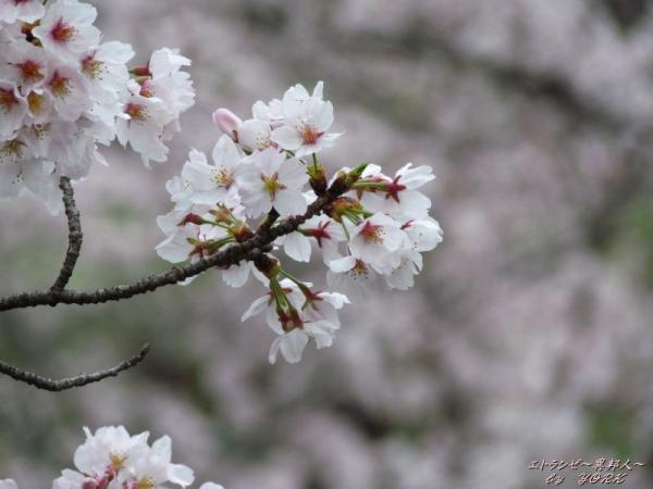2787一宮の桜170409