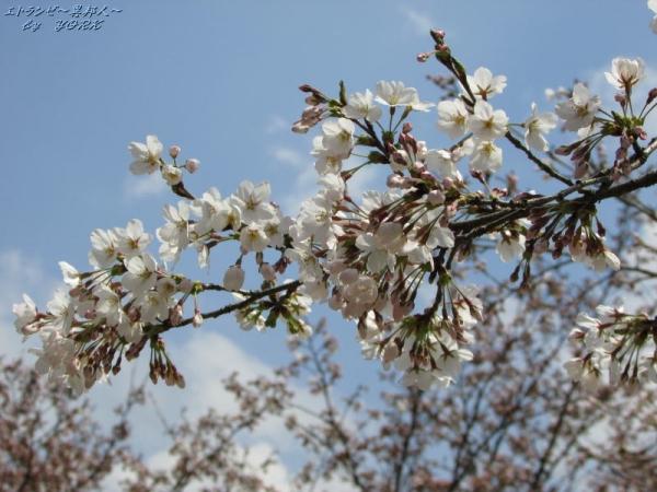 0768青空にがいせん桜170415