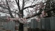 富岡の桜-2
