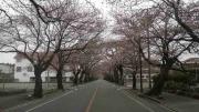 富岡の桜-3