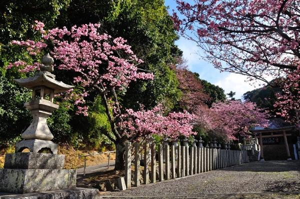 1薄紅寒桜17.02.21