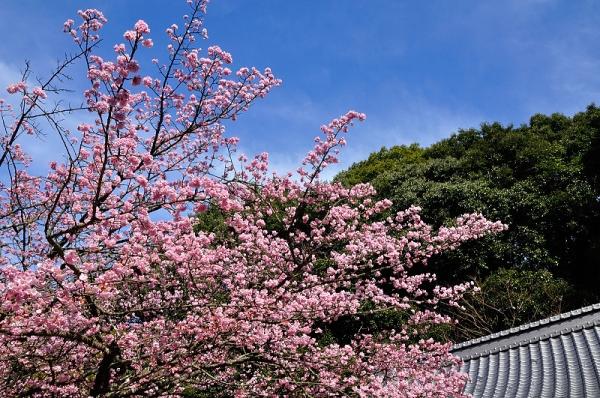 2薄紅寒桜17.02.21