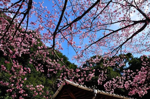 3薄紅寒桜17.02.21