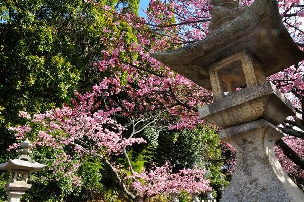 4薄紅寒桜17.02.21
