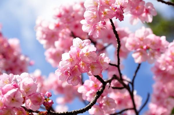 5薄紅寒桜17.02.21