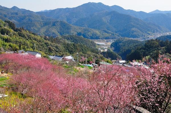 1雪割り桜17.02.27