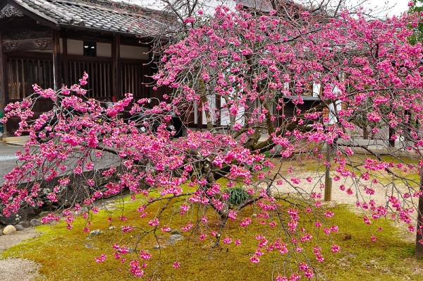 1孝子桜17.03.05