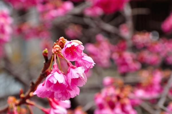 4孝子桜17.03.05