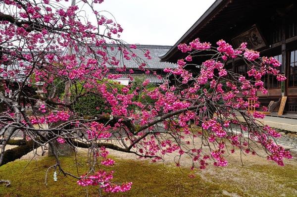 5孝子桜17.03.05