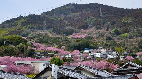 1雪割桜17.03.05