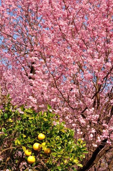 3雪割桜17.03.05