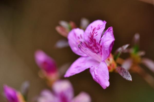 8雪割桜17.03.05