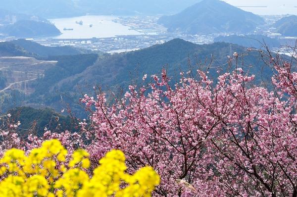 10雪割桜17.03.05
