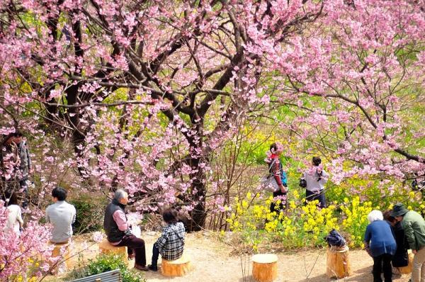 11雪割桜17.03.05