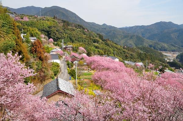 12雪割桜17.03.05