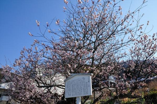 1十六日桜17.03.17