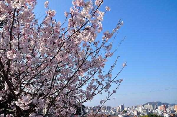 2十六日桜17.03.17