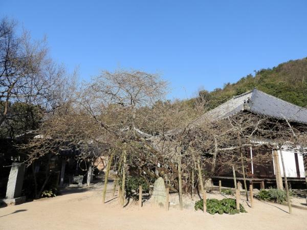 4うば桜17.03.17