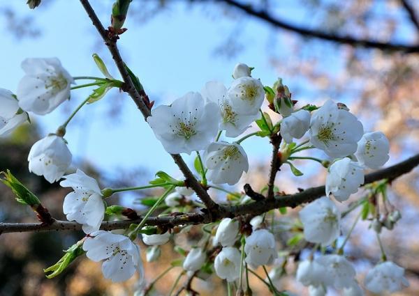 4うば桜17.03.22