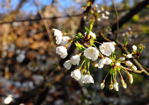 5うば桜17.03.22