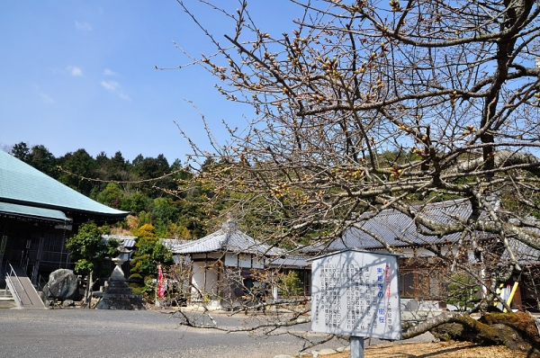 6実報寺一樹桜17.03.22