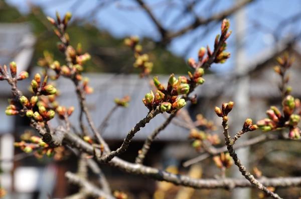 7実報寺一樹桜17.03.22