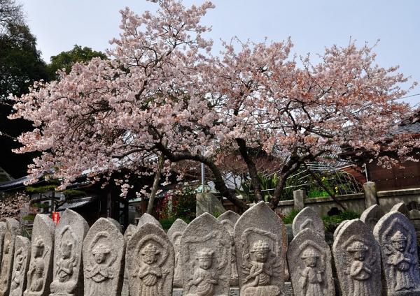 9明正寺桜17.03.22