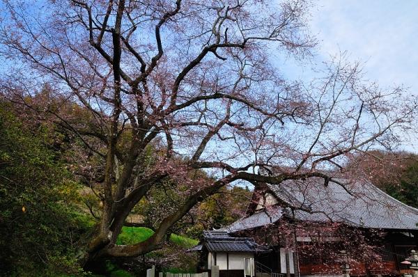 3金龍桜17.03.26