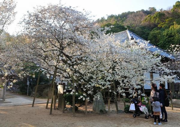 1うば桜17.03.26