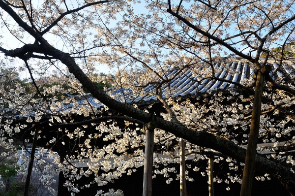 3うば桜17.03.26