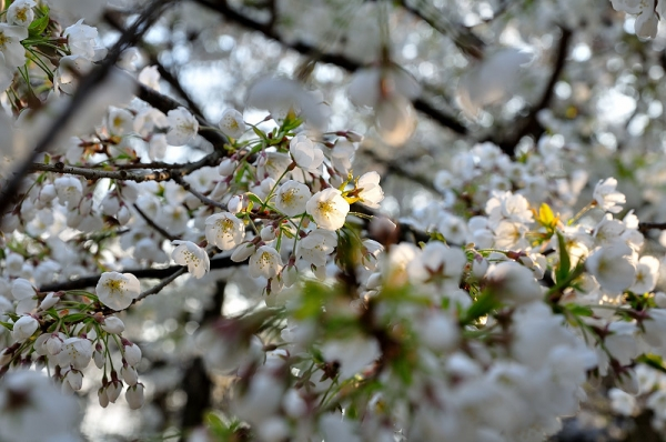 5うば桜17.03.26