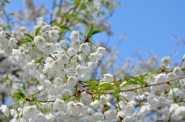 4うば桜17.03.30