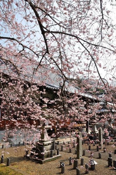 7金龍桜17.03.30