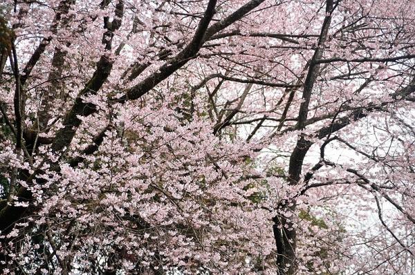 2源太桜17.04.06