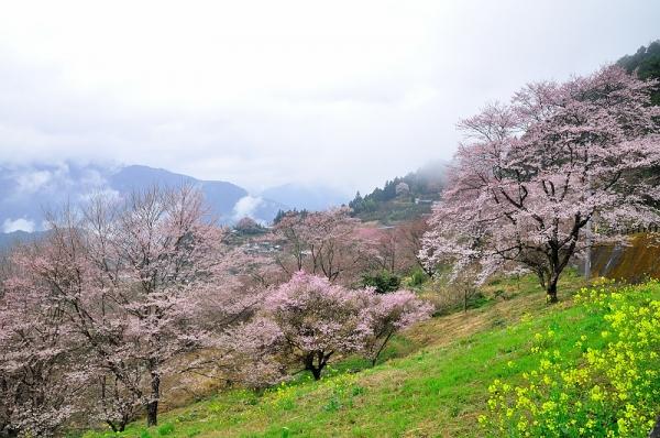 2桜17.04.06