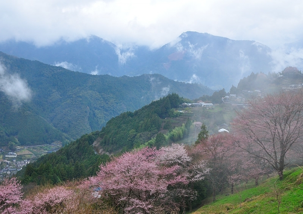 3桜17.04.06