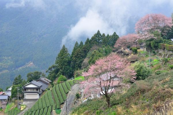 4桜17.04.06
