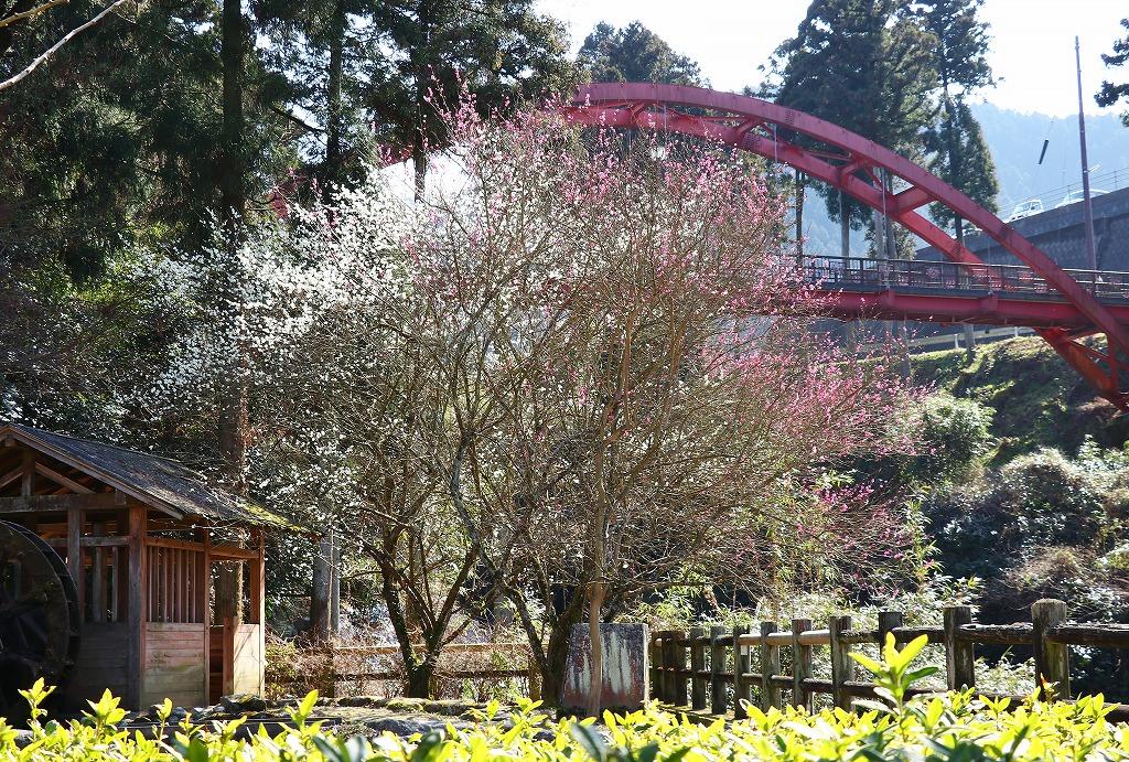 本谷温泉の梅