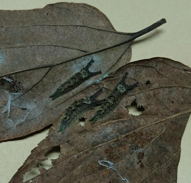 ブルーオオムラサキ越冬幼虫1