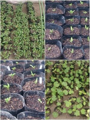 果菜の苗たち