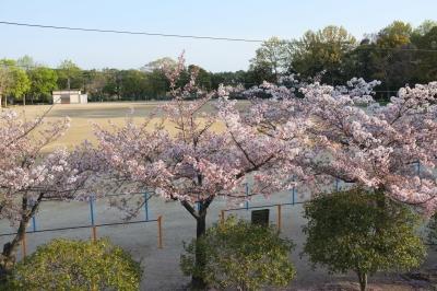 170416 桜満開、春爛漫