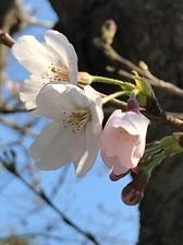2017_0403桜2
