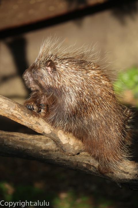 埼玉県こども自然動物公園 カナダヤマアラシ