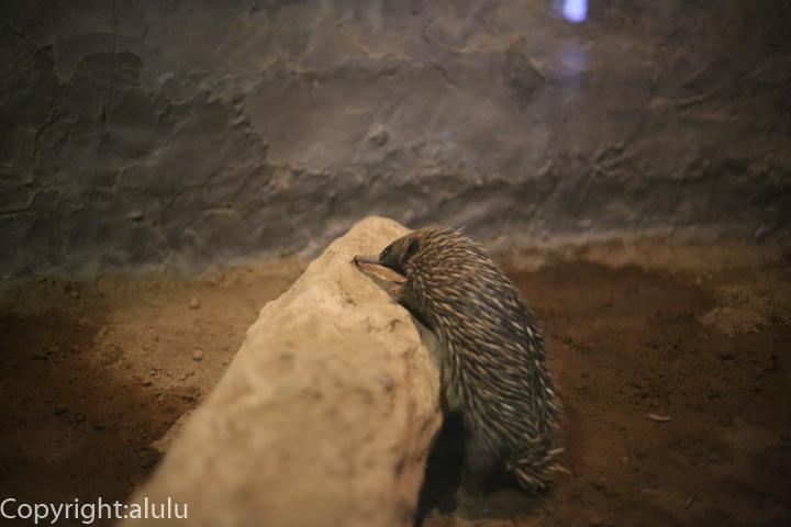 ハリモグラ 上野動物園 画像