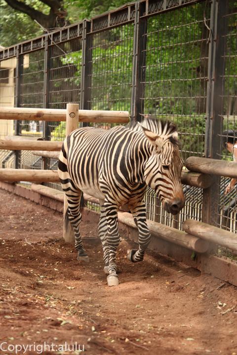 夢見ヶ崎動物園 ハートマンヤマシマウマ