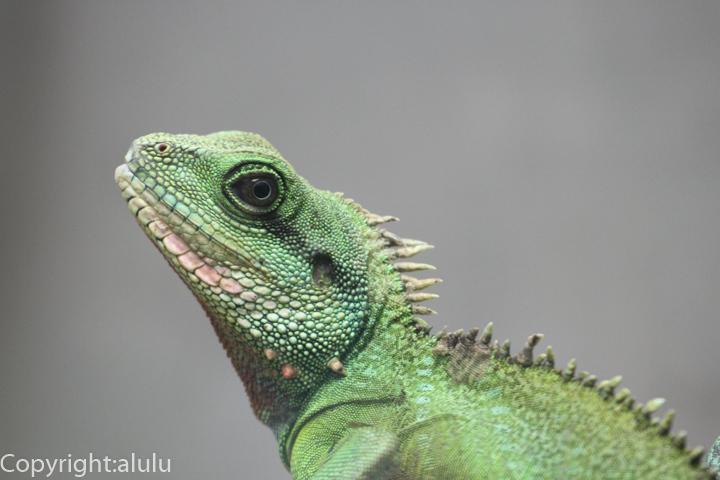 インドシナウォータードラゴン 爬虫類