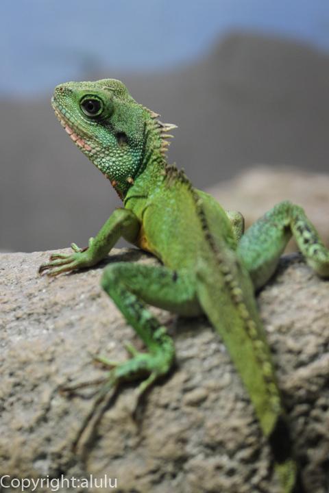 東山動物園 インドシナウォータードラゴン