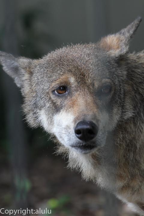 浜松市動物園 ヨーロッパオオカミ 画像